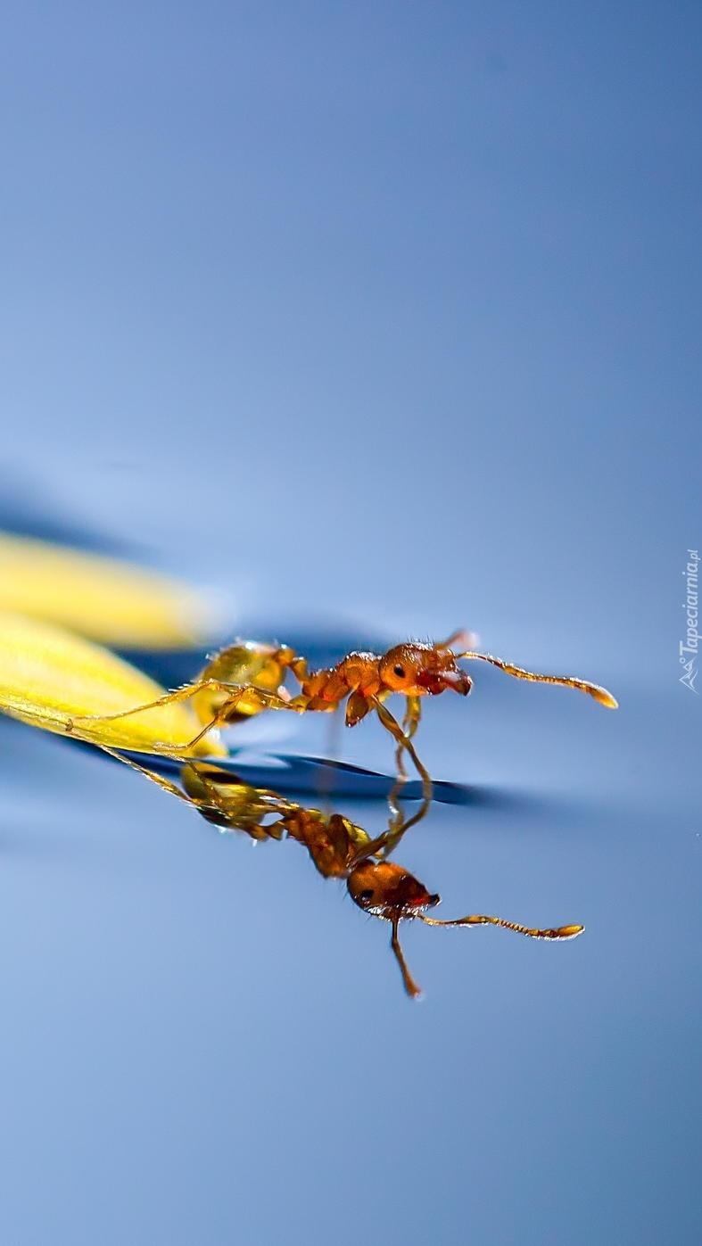 Mrówka na płatku