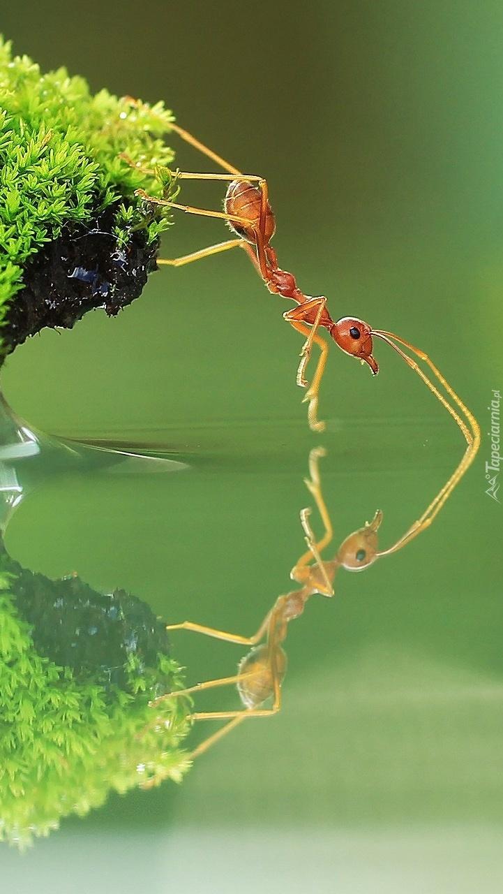 Mrówka odbita w wodzie