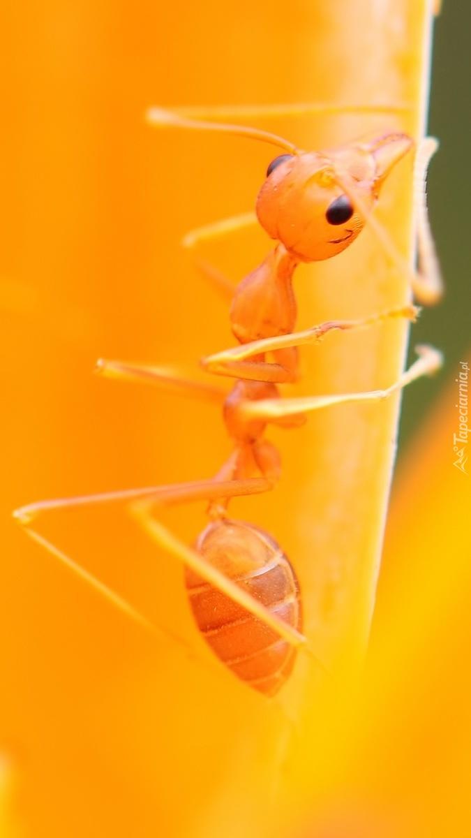 Mrówka w makro