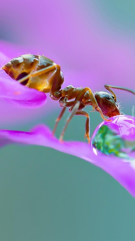Mrówka z kroplą