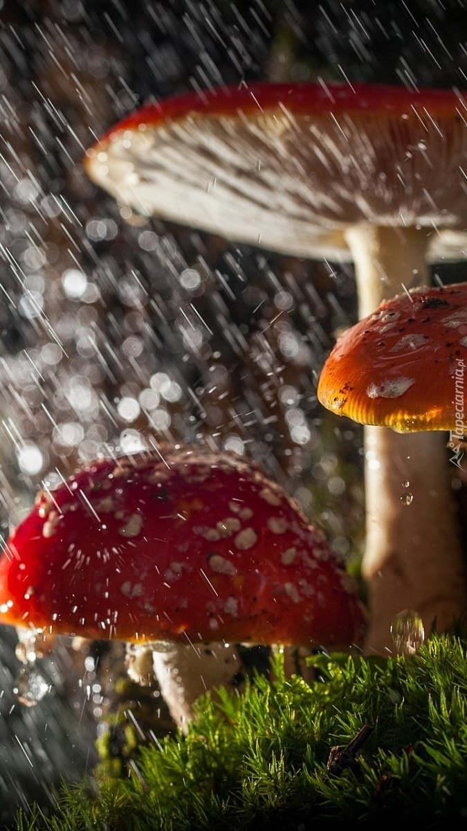 Muchomory w deszczu