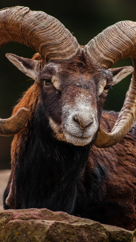 Muflon o imponujących rogach