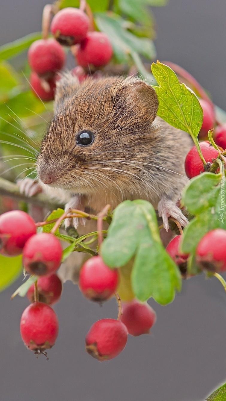 Myszka na gałązce dzikiej róży