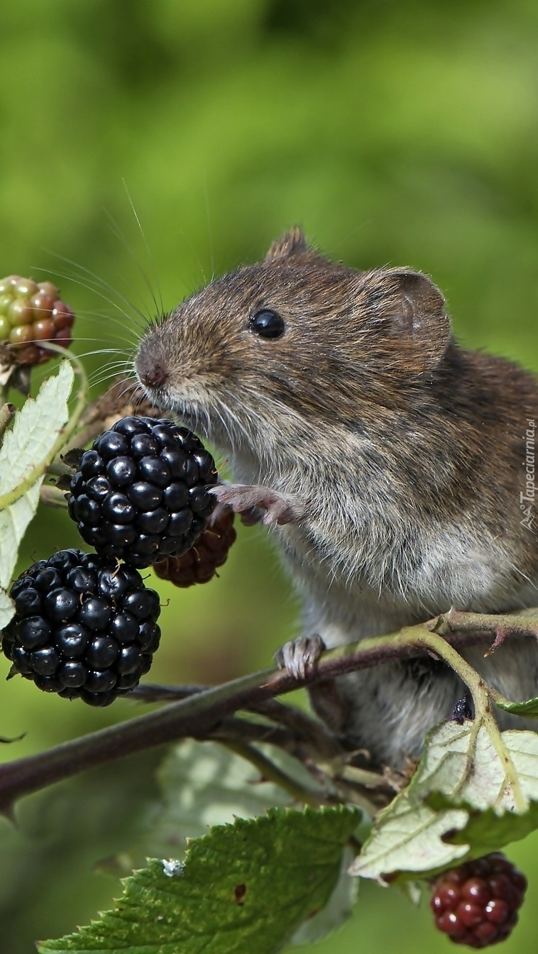 Myszka z jeżyną