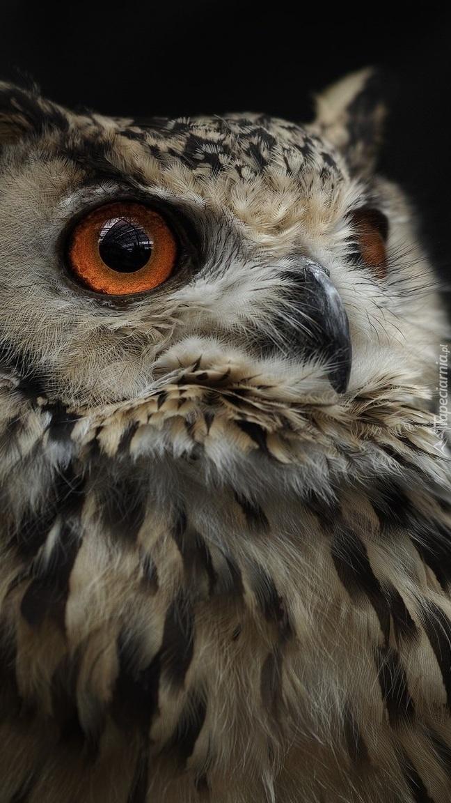 Naburmuszona sowa o brązowych oczach