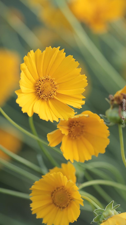 Nachyłki żółte