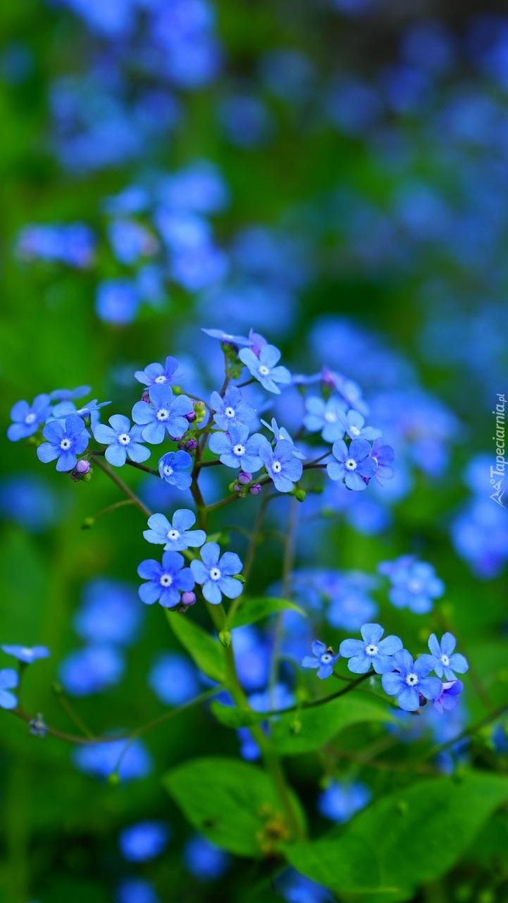 Niebieska brunera