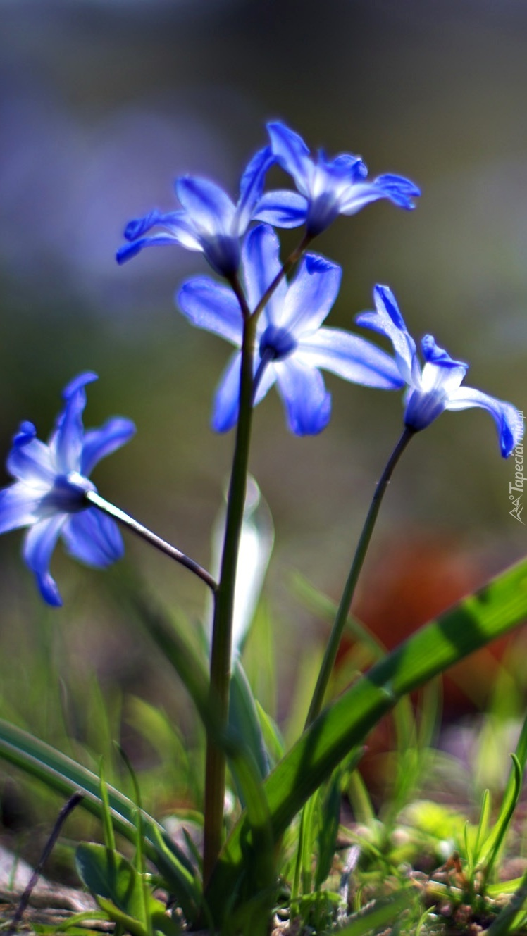 Niebieska cebulica
