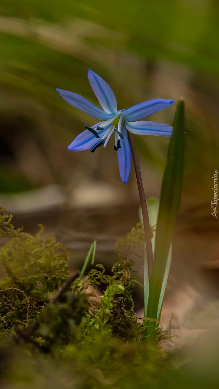 Niebieska cebulica syberyjska