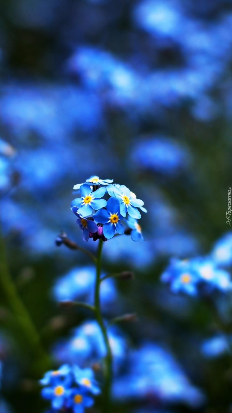 Niebieska niezapominajka