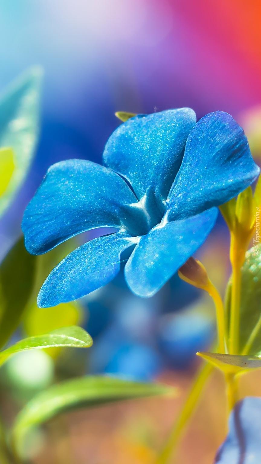 Niebieski barwinek