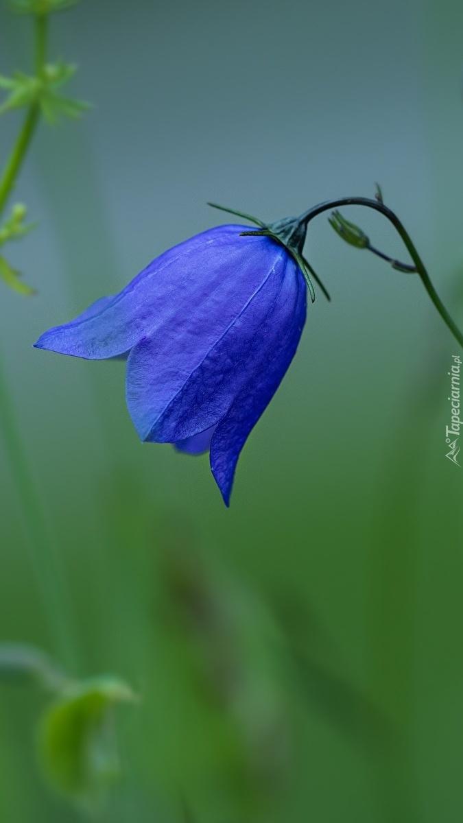 Niebieski dzwonek