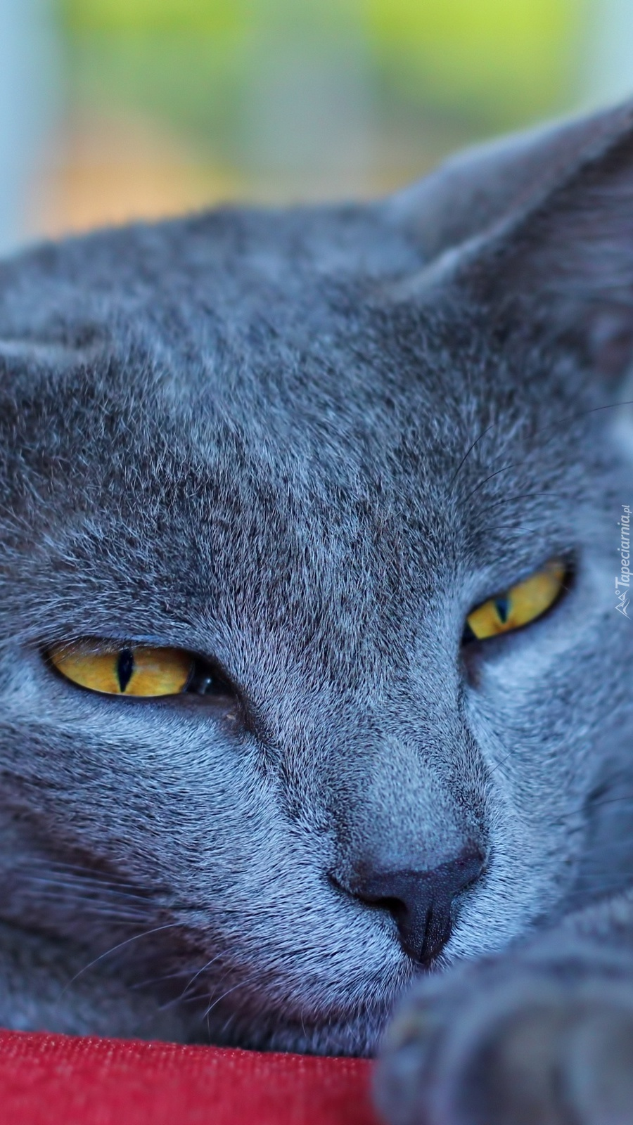 Niebieski Kot Angielski Tapeta Na Telefon