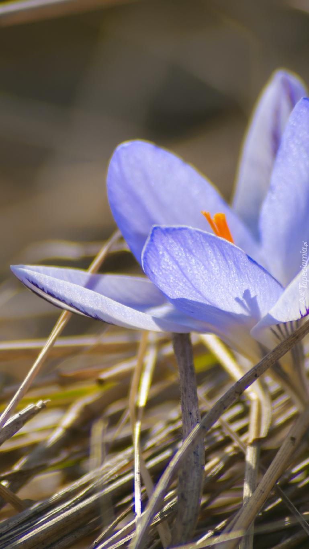 Niebieski krokus w suchej trawie