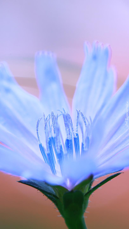 Niebieski kwiat cykorii