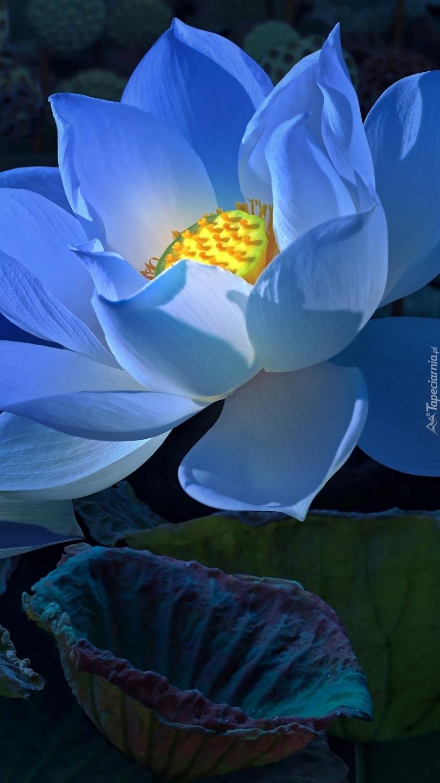 Niebieski lotos