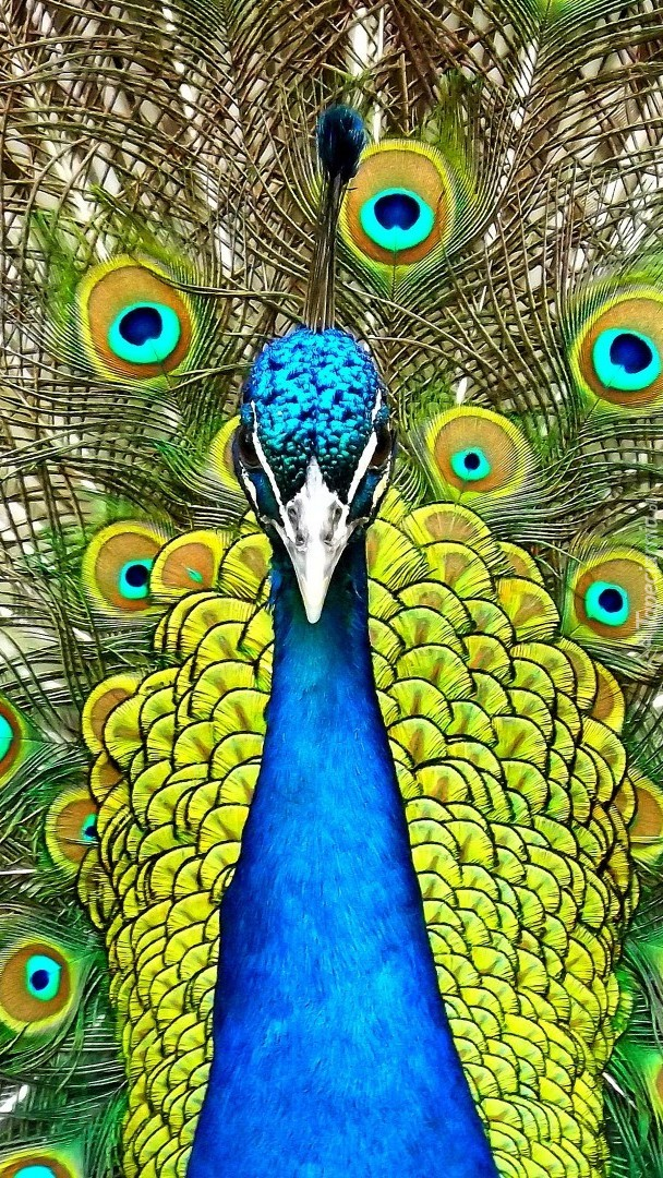 Niebieski paw z rozłożystym ogonem