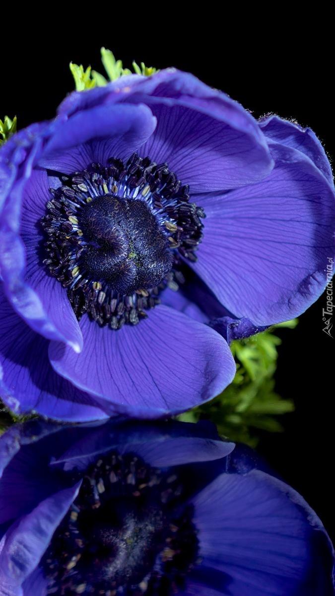 Niebieski zawilec