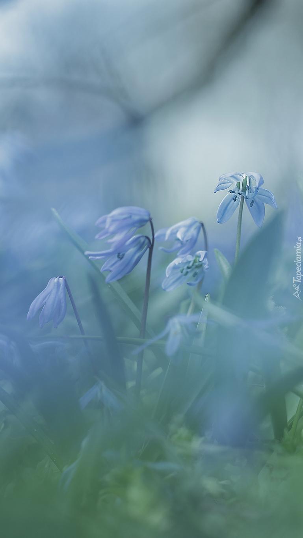 Niebieskie cebulice syberyjskie
