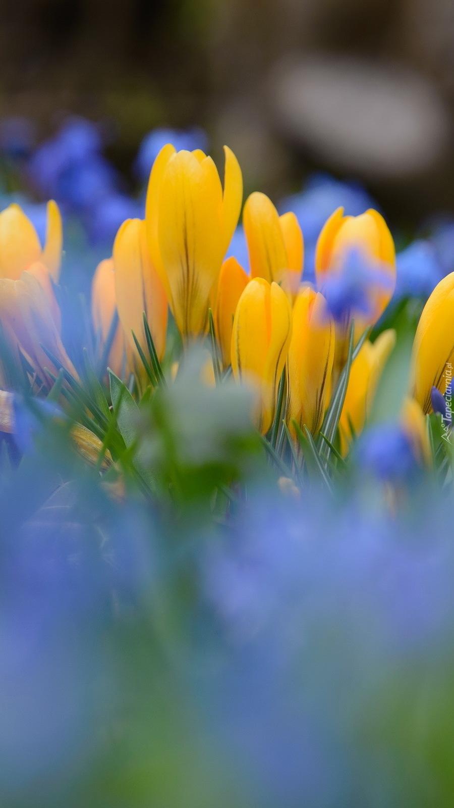 Niebieskie i żółte krokusy