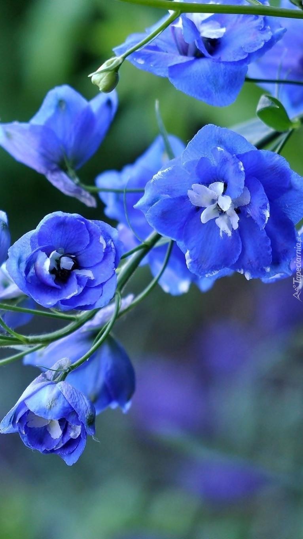 Niebieskie kwiatki ostróżki