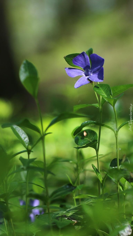 Niebieskie kwiaty barwinka