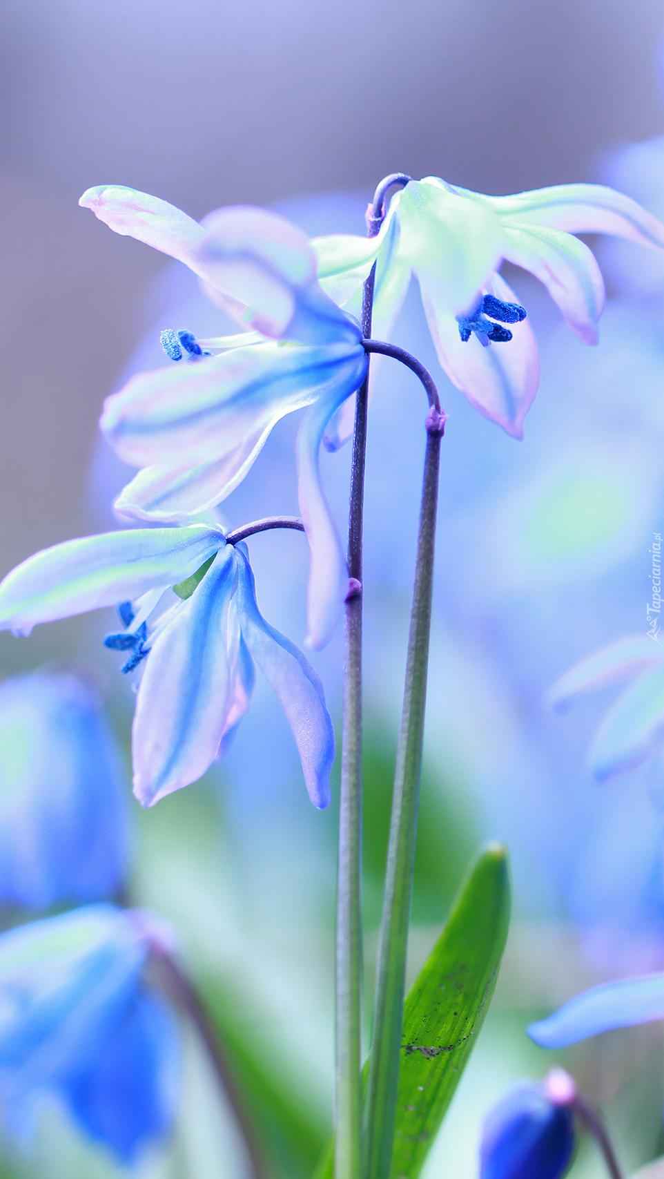 Niebieskie kwiaty cebulicy syberyjskiej