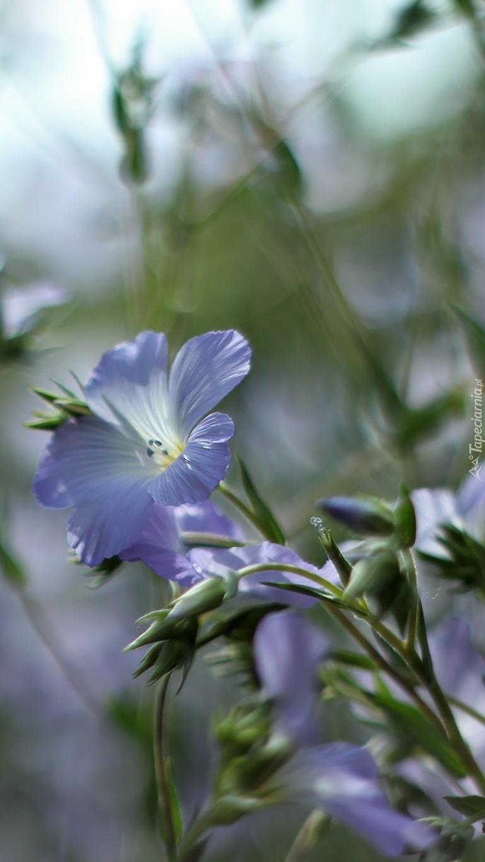 Niebieskie kwiaty lnu włochatego