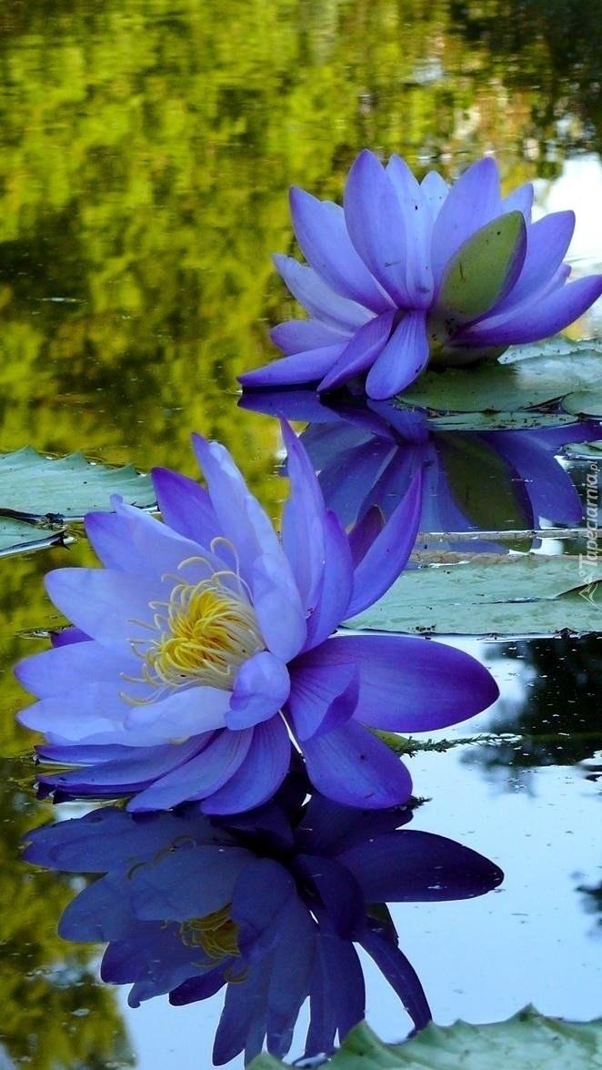 Niebieskie lilie wodne