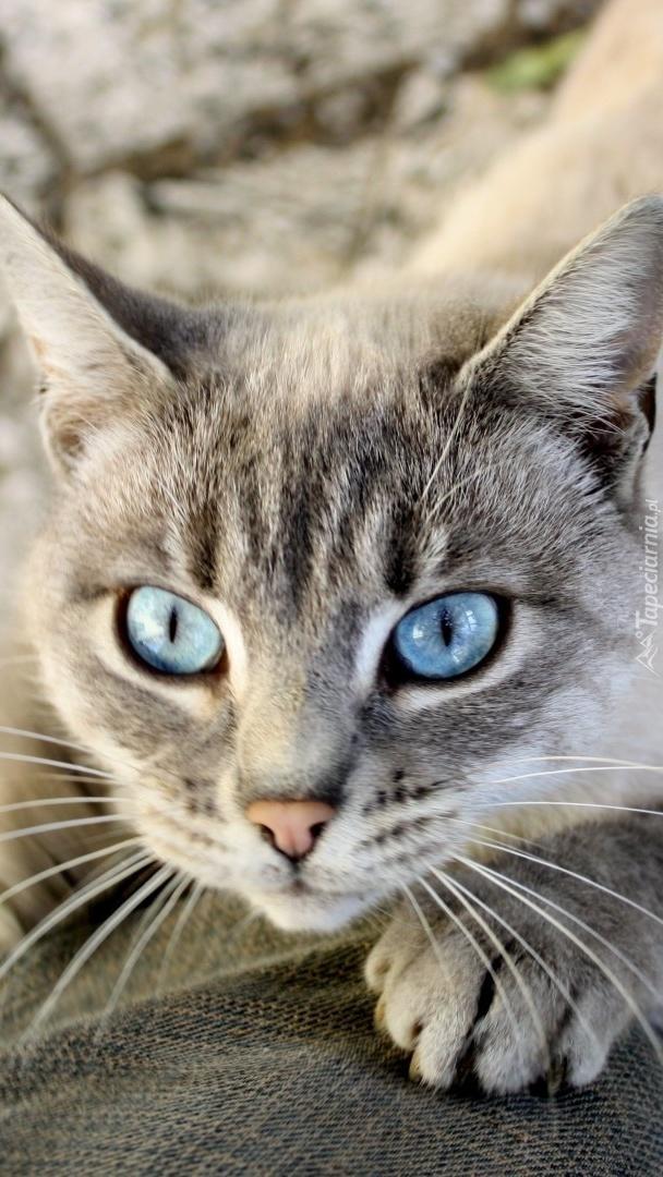 Niebieskie Oczy Kota Tapeta Na Telefon
