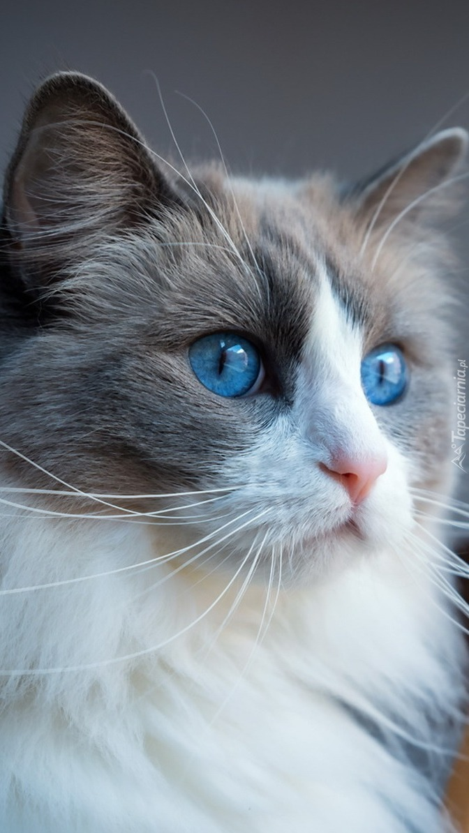 Niebieskie oczy ragdolla