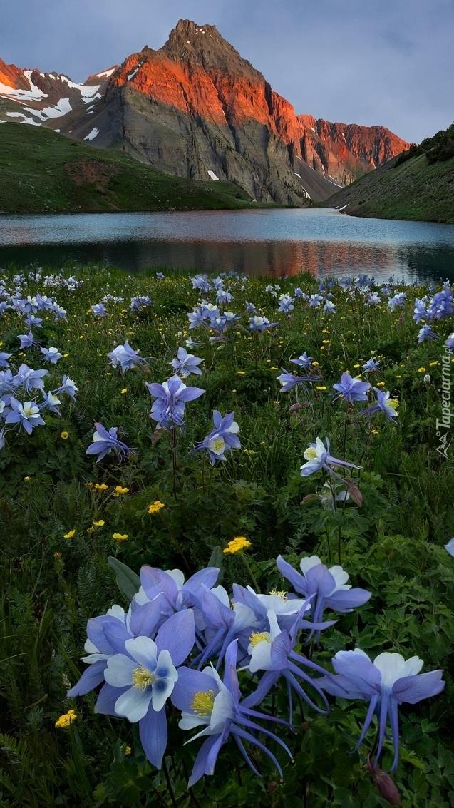 Niebieskie orliki na łące obok jeziora Blue