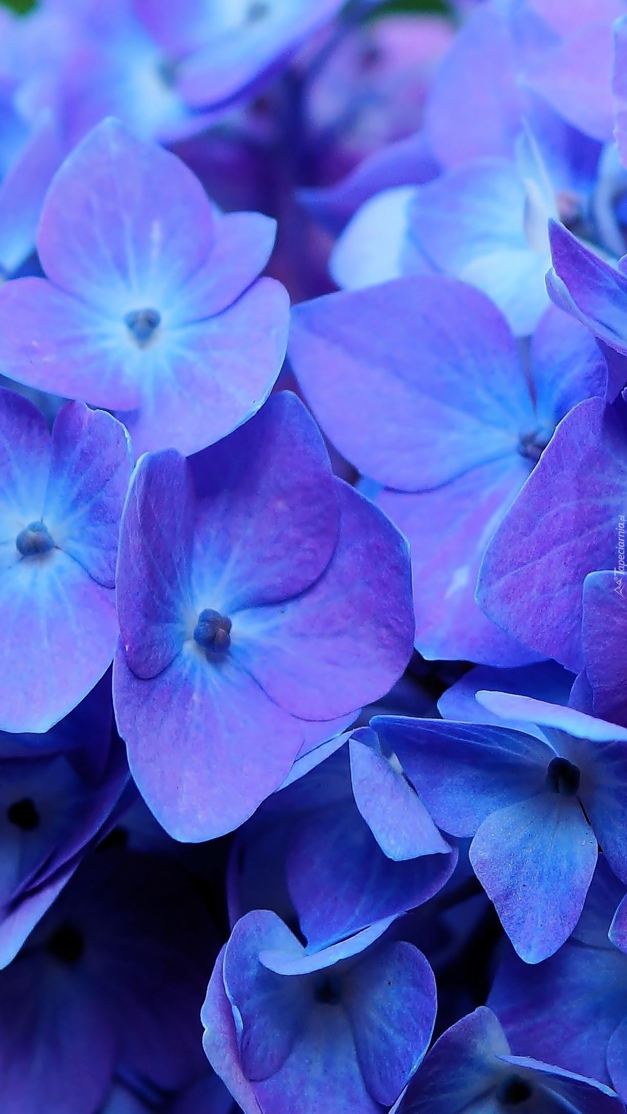 Niebieskie płatki hortensji