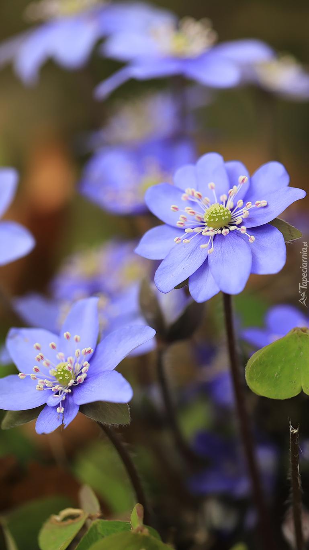 Niebieskie przylaszczki