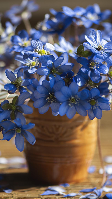 Niebieskie przylaszczki w wazonie