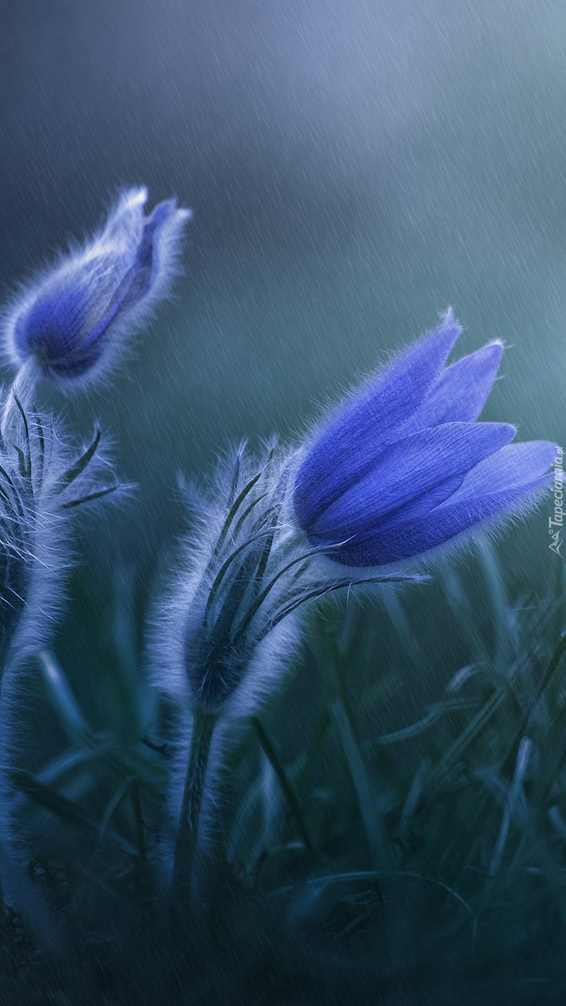 Niebieskie sasanki