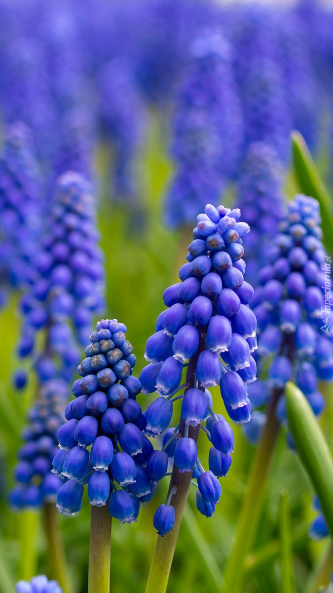 Niebieskie szafirki