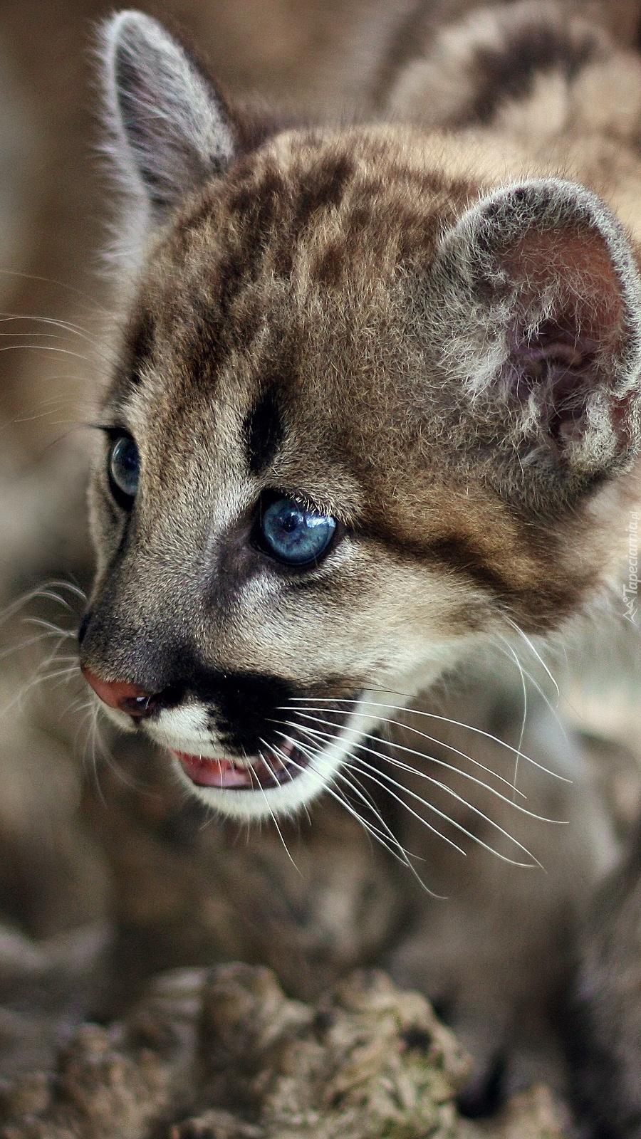 Niebieskooka Puma Tapeta Na Telefon