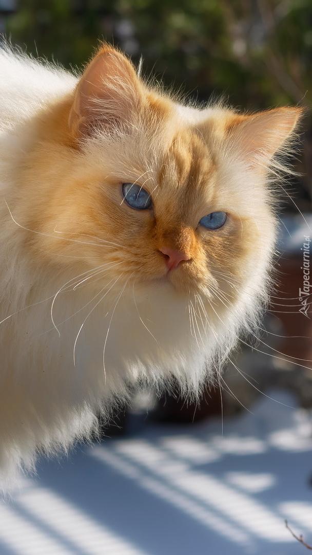 Niebieskooki kot