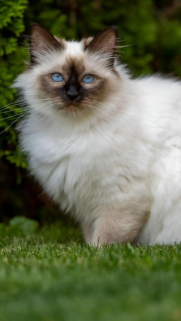Niebieskooki kot birmański