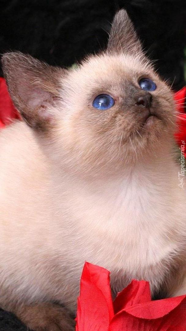 Niebieskooki kotek