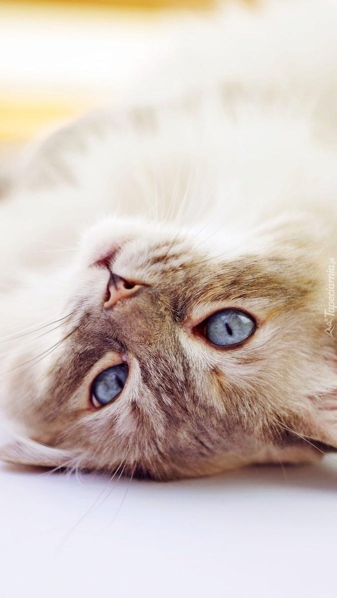 Niebieskooki kotek leżący na plecach