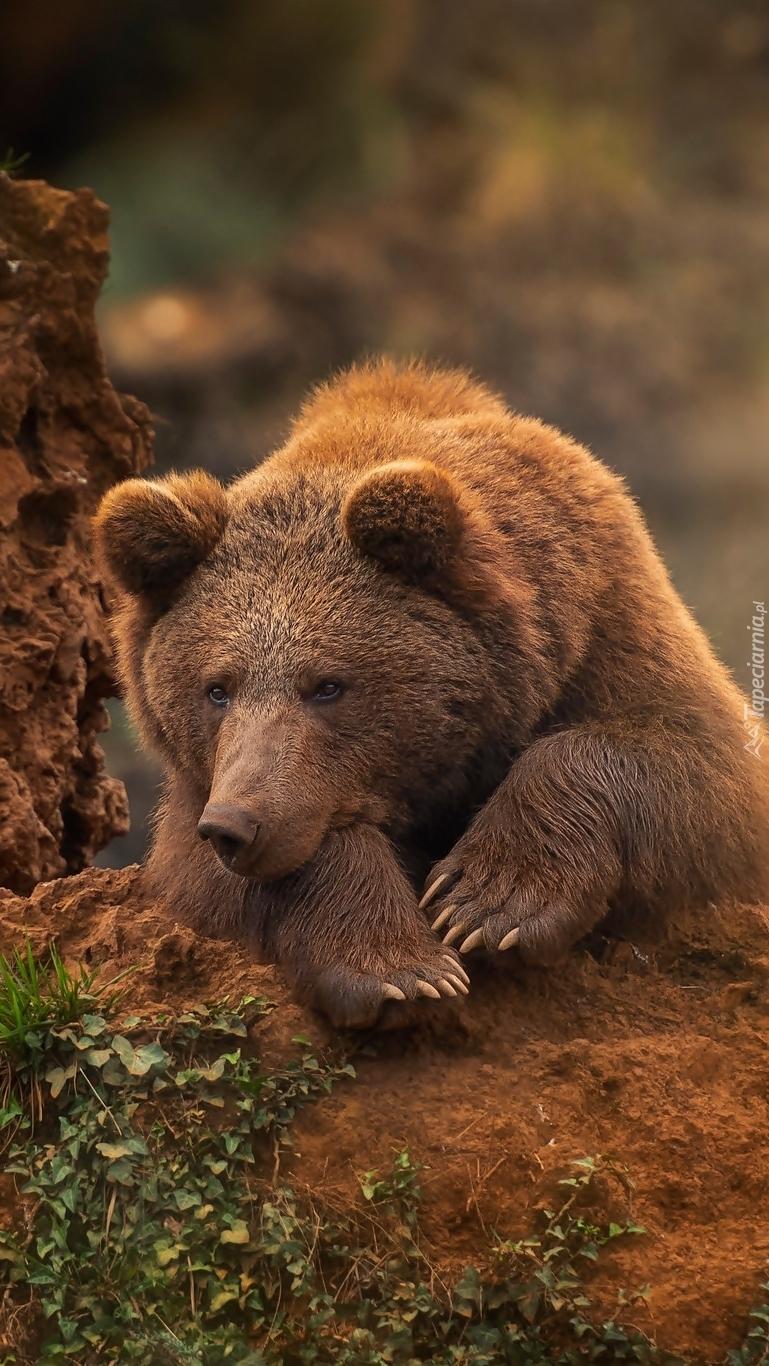 Niedźwiedź brunatny na skale