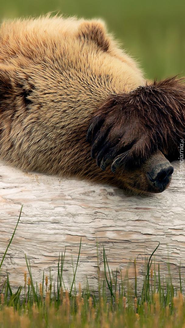 Niedźwiedź grizli