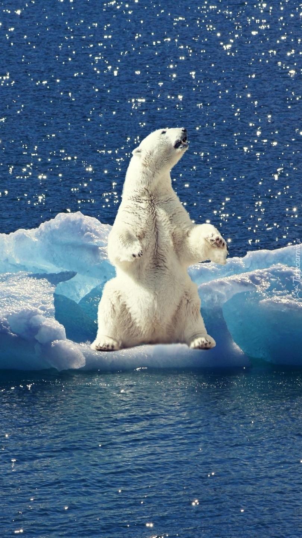 Niedźwiedź na bryle lodu