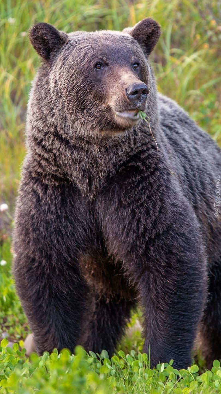 Niedźwiedź na trawie