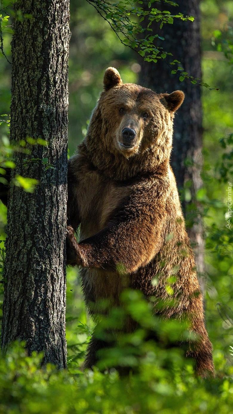 Niedźwiedź stojący przy drzewie