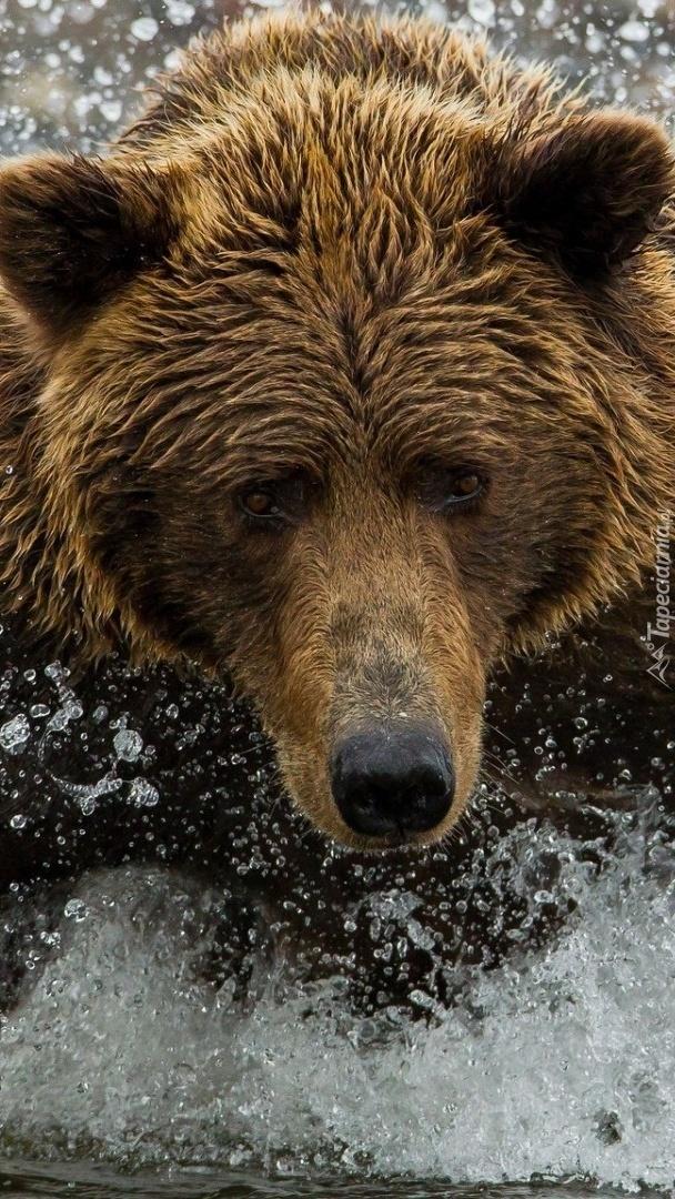 Niedźwiedź w wodzie