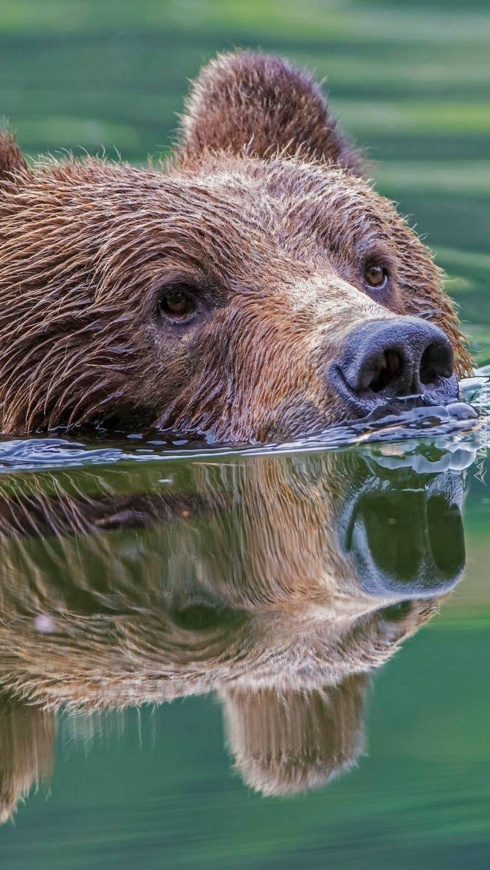 Niedźwiedź zanurzony w wodzie