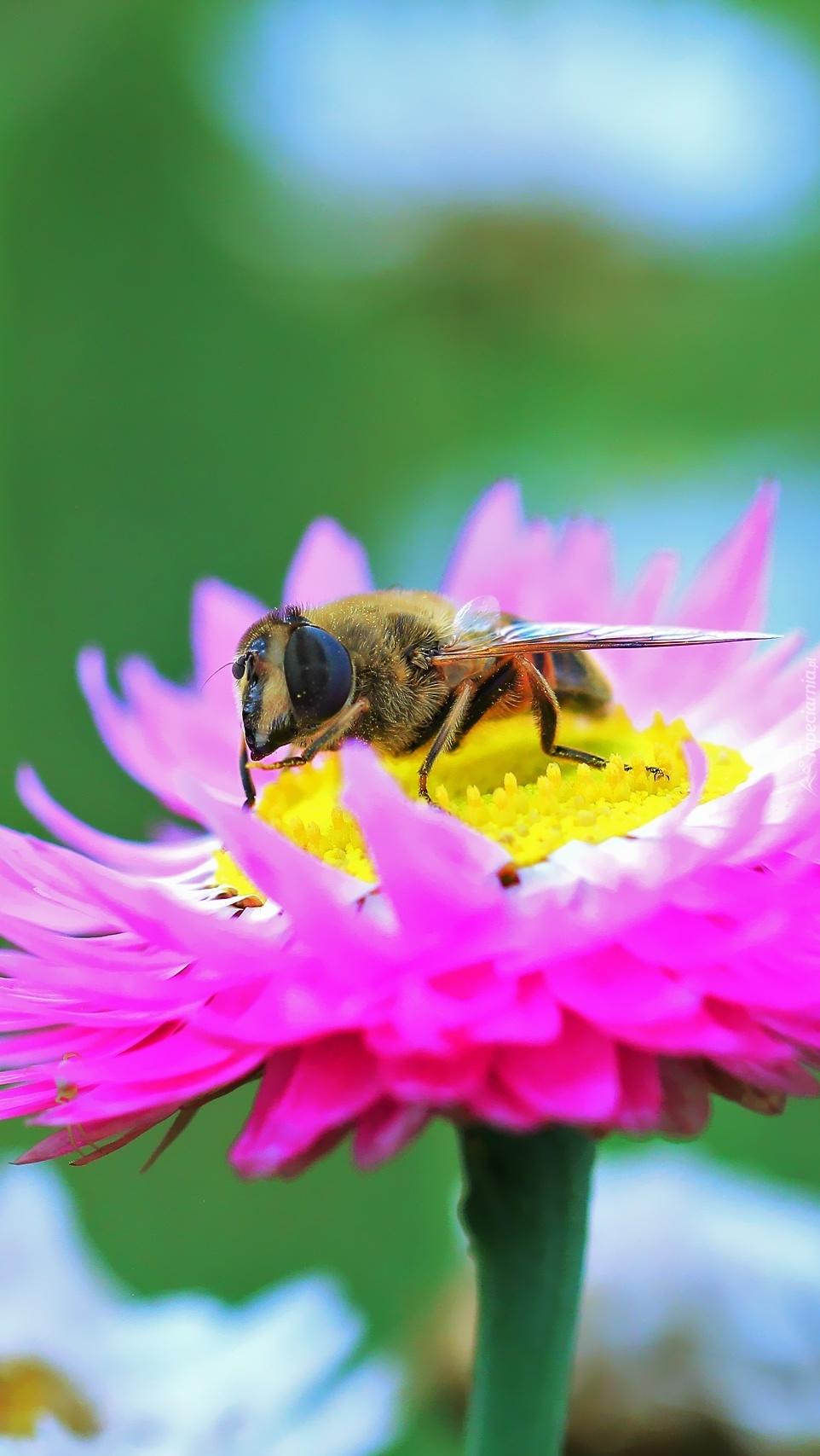 Nieśmiertelnik z pszczołą